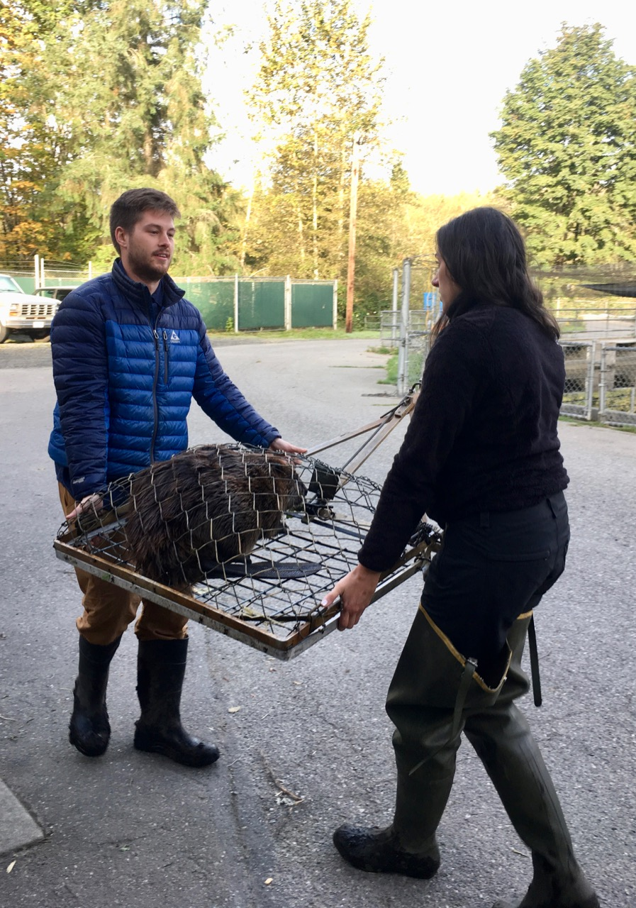 David Bailey and Molly Alves carry a trapped beaver to prepare it for relocation on behalf of the Tulalip Tribe. Beavers can heal streams human activities have damaged. Photo by Erica Gies.