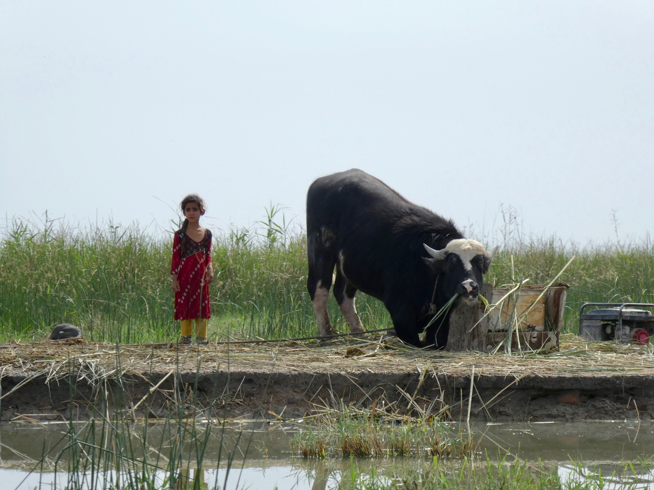 Small girl, big buffalo. Water buffalo milk and cream are an important food source for marsh dwellers in the Mesopotamian Marshes, Iraq. The animals seem almost part of the family. Photo by Erica Gies.
