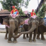 In Luang Prabang, Laos, two elephants connect during an elephant caravan that drew locals' attention to the illegal logging that threatens the country's 900 remaining pachyderms. Photo by Erica Gies.