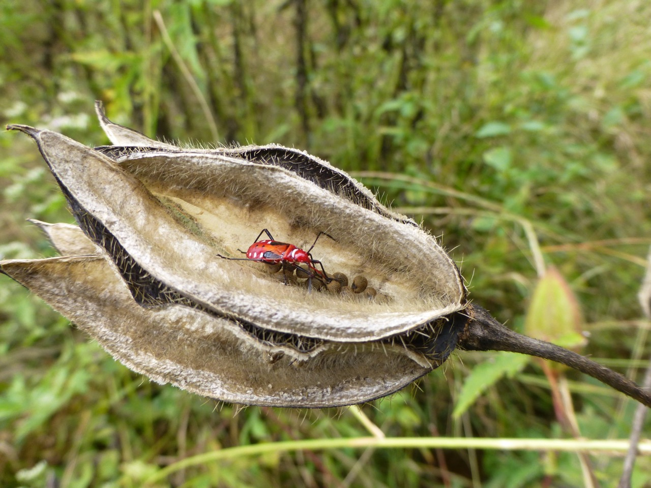 Red palm weevil, rural northern Laos. Photo by Erica Gies.