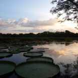 The giant water lily, Victoria amazonica, can hold the weight of a child and is the national flower of Guyana. The flower blooms white, attracts gold beetles that night for a big party inside, and turns intense pink the next day. Photo by Erica Gies.